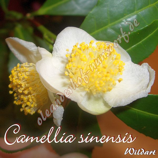camellia sinensis kamelie camellia wildform oleanderhof. Black Bedroom Furniture Sets. Home Design Ideas