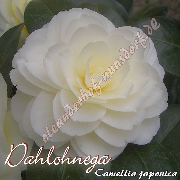 dahlonega kamelie camellia japonica oleanderhof. Black Bedroom Furniture Sets. Home Design Ideas