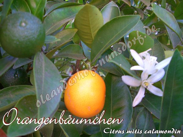 orangenb umchen citrus mitis calamondin oleanderhof. Black Bedroom Furniture Sets. Home Design Ideas