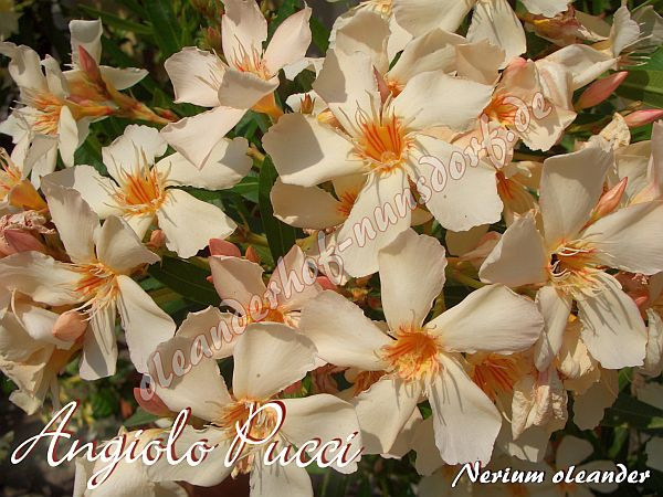 Oleander, Nerium oleander Angiolo Pucci