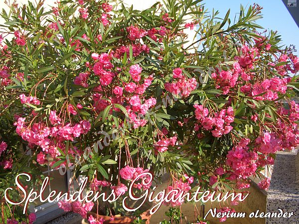 splendens giganteum nerium oleander oleanderhof. Black Bedroom Furniture Sets. Home Design Ideas
